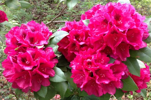 Planta poblada de flores rosas