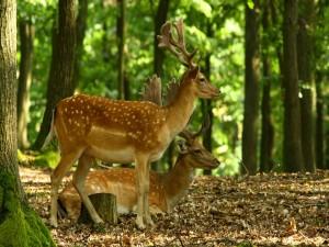 Postal: Ciervos jóvenes en el interior del bosque