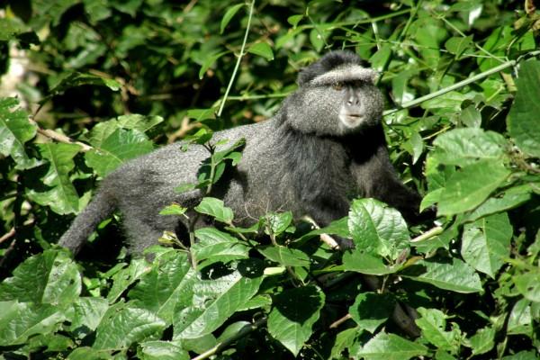 Mono de pelaje negro entre las hojas