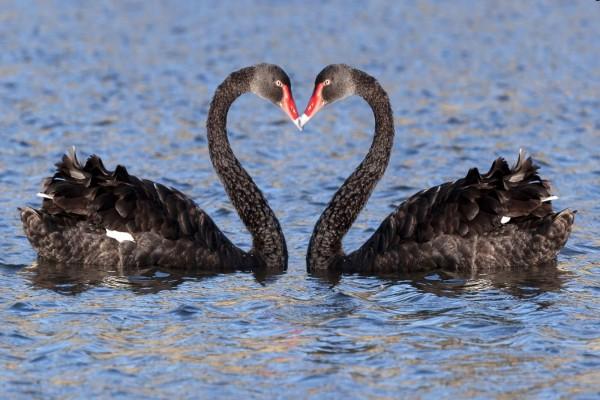 Cisnes negros formando un corazón