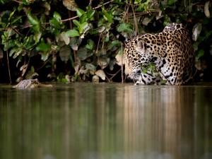 Leopardo en el agua