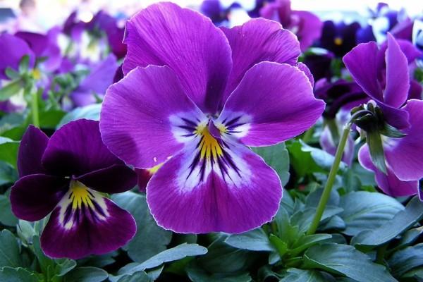 Pensamientos color púrpura