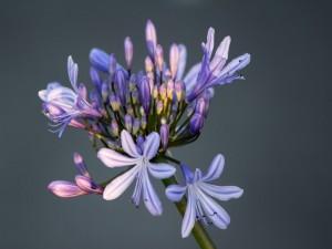 Tallo con varias flores lila