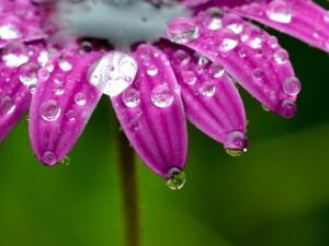 Postal: Gotas en los pétalos de la flor