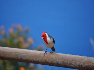 Postal: Lindo pájaro con la cabeza roja
