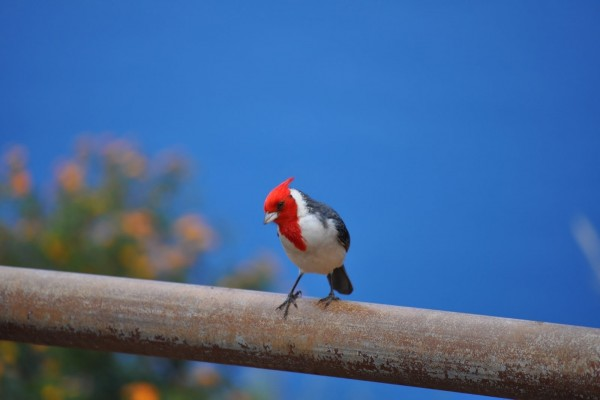 Lindo pájaro con la cabeza roja