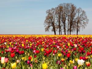 Postal: Campo con tulipanes de colores