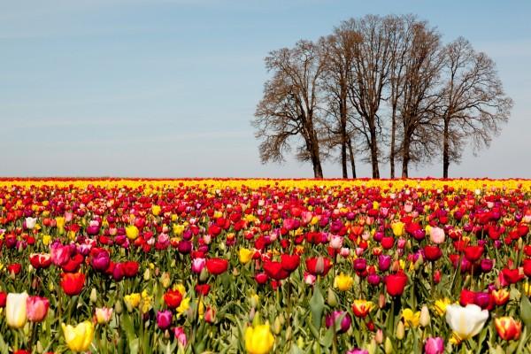 Campo con tulipanes de colores