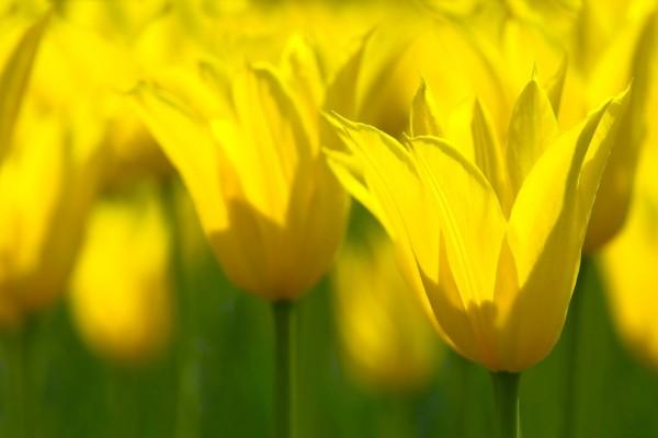 El brillo de los tulipanes amarillos