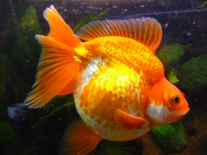 Brillante pez naranja