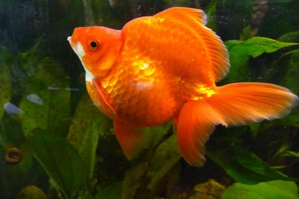 Hermoso pez naranja en un acuario