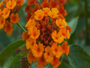 Postal: Pequeñas flores naranjas