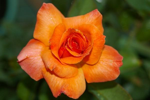Una bella rosa naranja