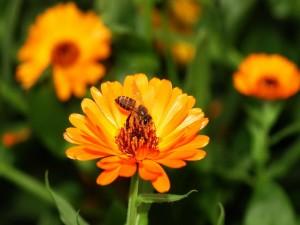 Postal: Abeja en una flor naranja