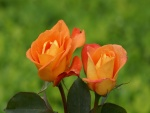 Dos bellas rosas en el jardín