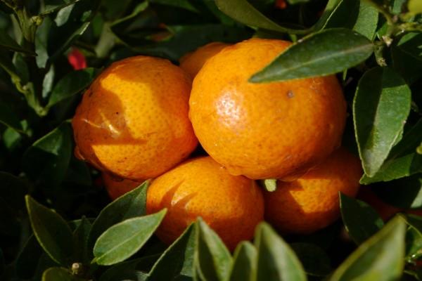 Naranjas madurando en el árbol