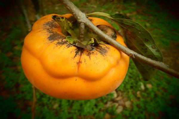 Enorme fruto en la rama