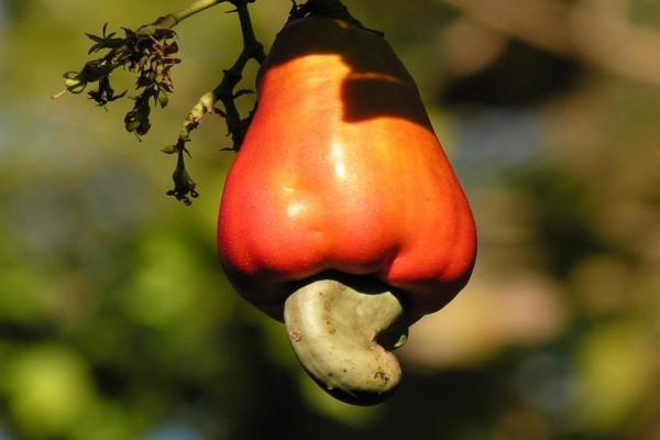 Anacardo en el árbol