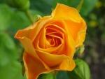 Los pétalos de una rosa naranja
