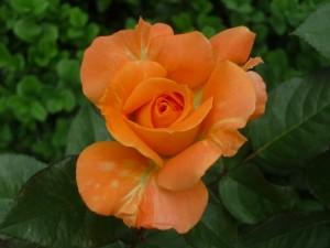 Postal: Bella rosa naranja