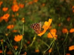 Mariposa en una flor naranja