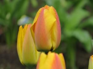 La belleza de los tulipanes