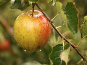 Postal: Una manzana en la rama