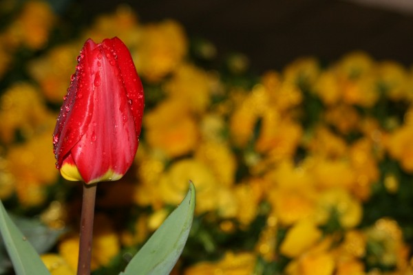 Tulipán rojo cerrado