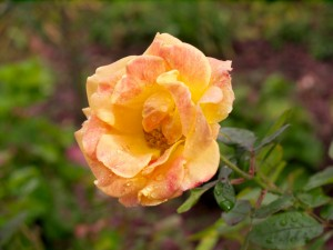 Postal: Una rosa tras la lluvia