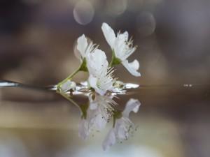 Ramita con flores de un ciruelo
