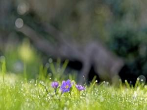 Gotitas de rocío, sobre la hierba y las flores