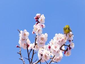 Postal: Pájaro sobre las flores de un cerezo