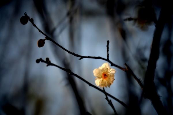 Solitaria flor de un ciruelo