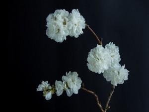 Bellas flores blancas en una ramita