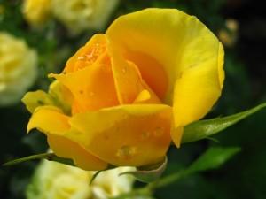 Bella rosa amarilla