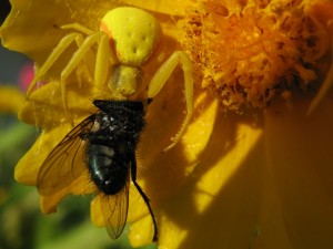 Postal: Araña cangrejo con su presa