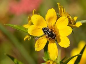 Postal: Una gran abeja sobre la flor amarilla