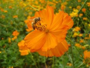 Postal: Una abeja, en la flor de color naranja