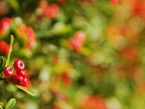 Bayas en el arbusto