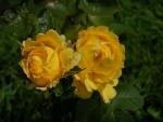 Dos rosas amarillas en el rosal