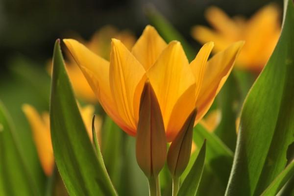 Lindos tulipanes