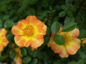 Bellas flores en la planta