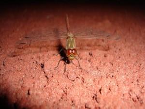 Postal: Cara a cara con una libélula