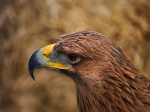 El perfil de un águila