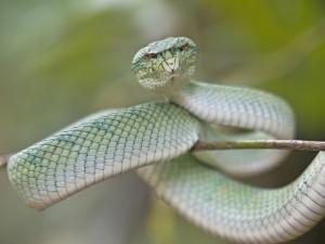 Postal: Serpiente en una fina rama