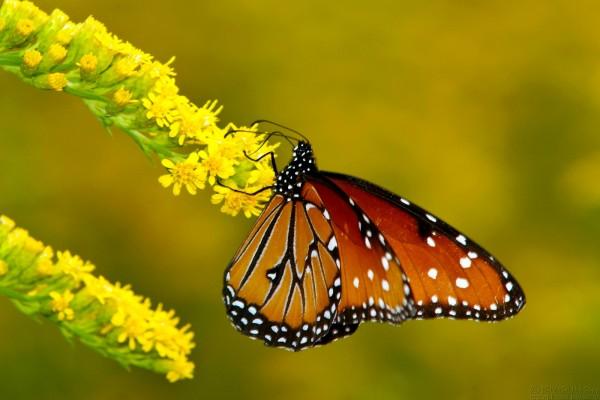 Mariposa sujeta a la rama con flores