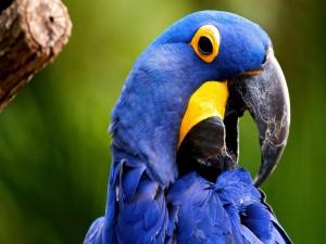 Un bonito loro azul