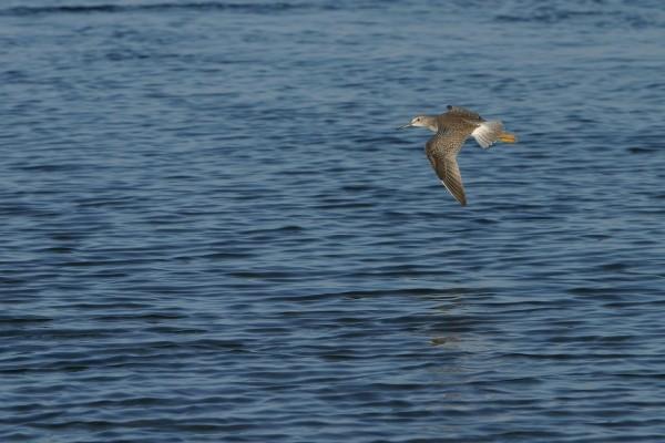 Ave con largo pico, volando sobre el agua
