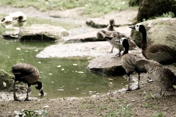 Patos junto al agua