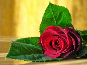 Postal: Hermosa rosa roja